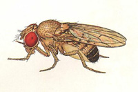 Drosophila melanogaster